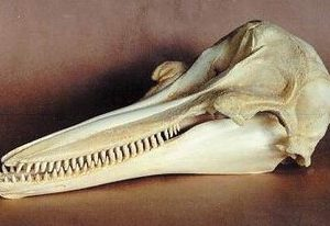 Bottlenose Dolphins Skulls Replicas Models