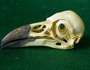 Common Raven Skulls Replicas Models