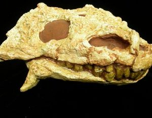 Pareiasaurus Adult Skull Cast Replica Model