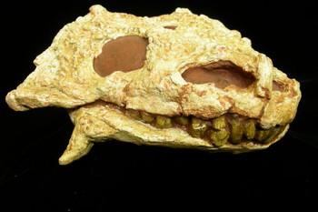 Pareiasaurus Adult Skull Cast Replica Model