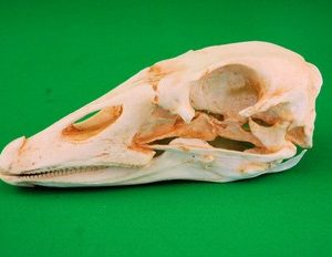 Domestic Goose Skulls Replicas Models