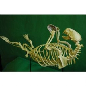 Sea Otter Complete Mounted Skeleton Replica