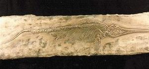 Ichthyosaur Skeleton Panel