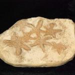 Starfish-Seafloor-Segment-Replica-P049A