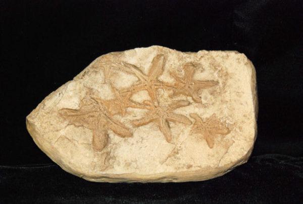 Starfish Seafloor Segment Replica