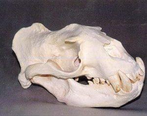 Stellers Sea Lion Male Skull Replica