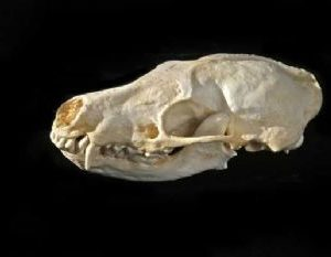 Stink Badger Skull Replica
