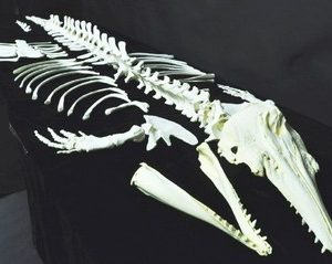 Beluga Whale Disarticulated Skeleton