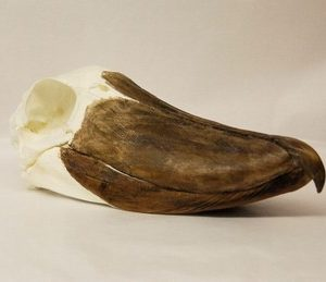 Shoebill Skulls Replicas Models
