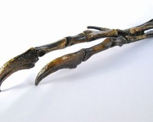 Albertosarus Dinosaur Hand Fossils Replicas
