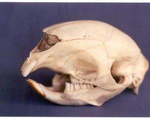 Crested Porcupine Skulls Models Replicas
