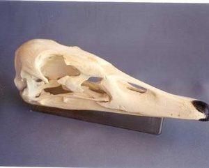 Trumpeter Swan Skulls Replicas Models