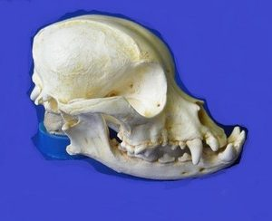 Pekingese Dog Skulls Replicas Models