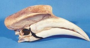 Great Hornbill Skulls Replicas Models