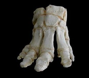 African Elephant Foot Replicas Models