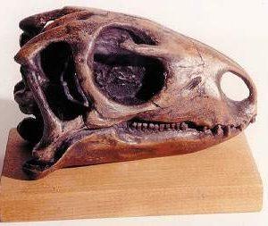 Nanosaurus Dinosaur Skulls Replicas Models
