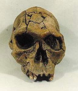 Homo Habilis KNM-ER 1813 Skulls Replicas Models