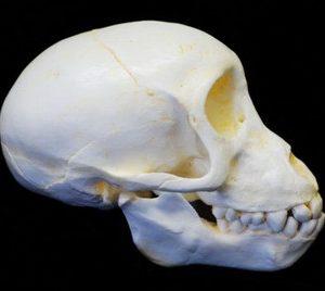 Chacma Baboon Juvenile Skull