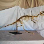 Velociraptor osmolkae Dinosaur Skeleton Replica
