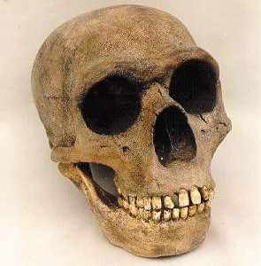 Neanderthal Skull Replica Model