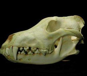 Alaskan Wolf Skulls Replicas Models