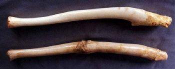 Walrus Baculum Set
