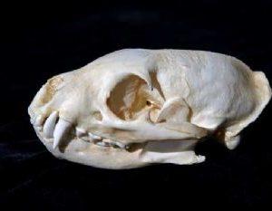 Water Mongoose Skull