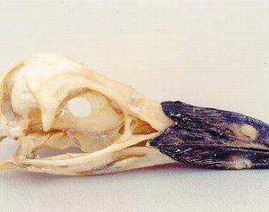 Magellan Penguin Skulls Replicas Models