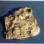 WumGo-hKNqq-qjffk-Crinoid_Scyphocrinus_Plaques