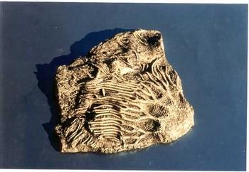 Crinoid Scyphocrinus Plaque
