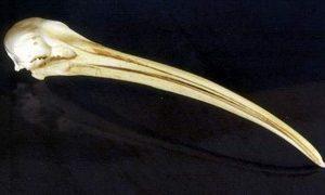 Scarlet Ibis Skulls Replicas Models