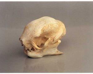 Three Toed Sloth Skulls Replicas Models