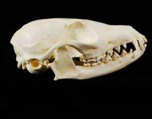 Cape Fox Skulls Replicas Models