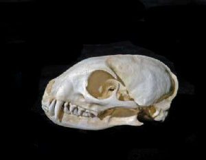 Yellow Mongoose Skull Replica