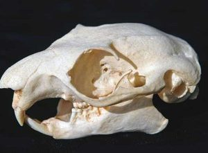 Giant Flying Squirrel Skulls Replicas Models