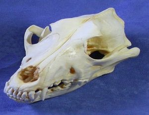 Singing Dog Male Skulls Replicas Models