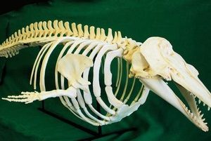 Beluga Whale Articulated Skeleton Replicas Models
