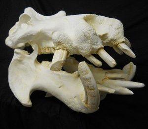 Hippopotamus Skull Replicas Models