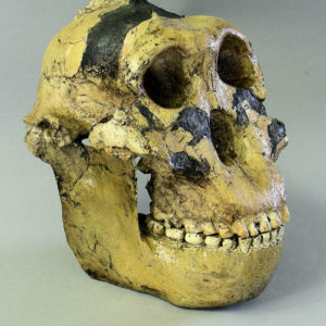 zinjanthropus skull replica model