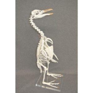 African Penguin Skeleton Model Replica