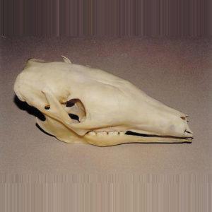 aardvark male skull replica