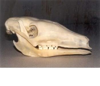 Aardvark Skull Replica