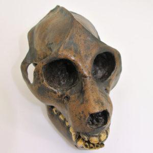 aegyptopithecux zeuxis skull replica