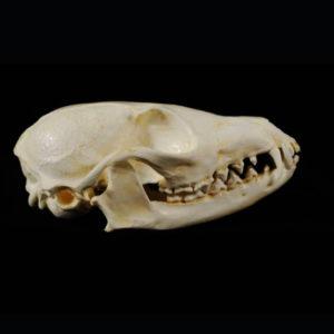 african cape fox skull