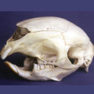 african crested porcupine skull