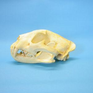 african leopard skull replica
