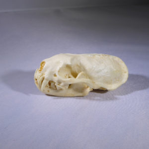 african striped weasel skull