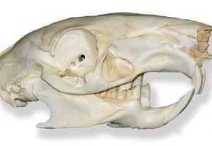 Agouti Dasyprocto Skull Replica