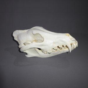 Fox and Wolf Skulls