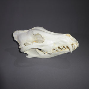 alaskan wolf skull replica facing right